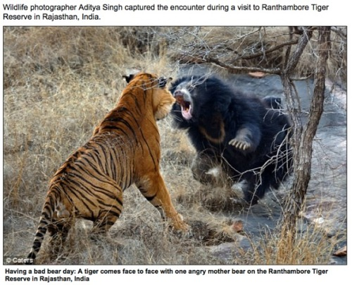 Bear_and_tiger_face_off_india_