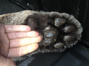 My hand next to the front paw (I have large hands)