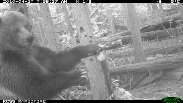 Almost as rare as Sasquatch. This is a North Cascades grizzly bear in Canada - probably a dual citizen