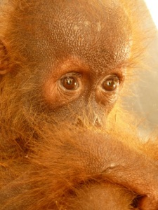 An orphaned orangutan who not only lost his home to deforestation, but his mother too. Image: Chris Morgan